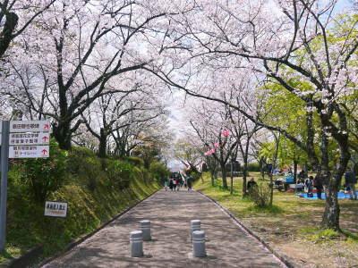菊池公園、菊池神社の桜photoコレクション 2019_a0254656_18593489.jpg