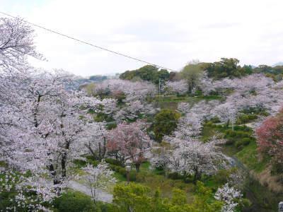 菊池公園、菊池神社の桜photoコレクション 2019_a0254656_19024499.jpg