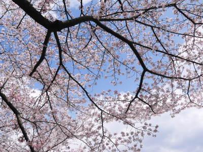 菊池公園、菊池神社の桜photoコレクション 2019_a0254656_19055679.jpg