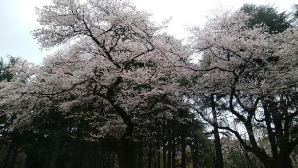 都内 桜見学サイクリング 45㎞でした。_f0073557_23495730.jpg