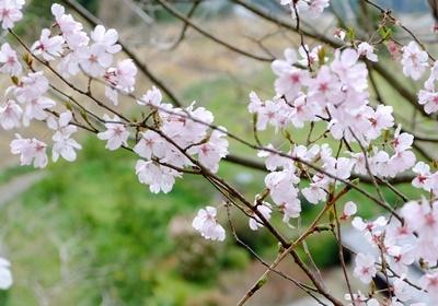 お花見ウォーキング~高野山黒河道_b0194861_22533467.jpg
