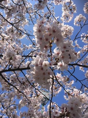桜満開!_b0219170_13400650.jpeg
