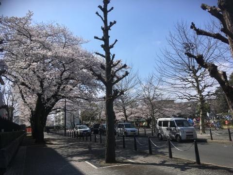 桜満開!_b0219170_13404899.jpeg