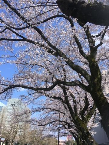 桜満開!_b0219170_13422458.jpeg
