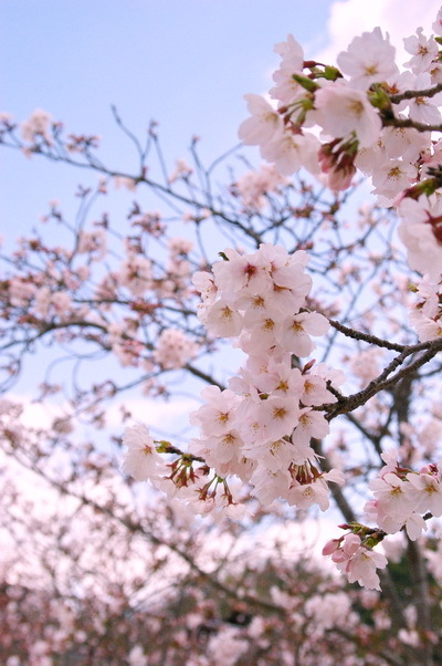 錦帯橋の桜_d0327373_17062897.jpg