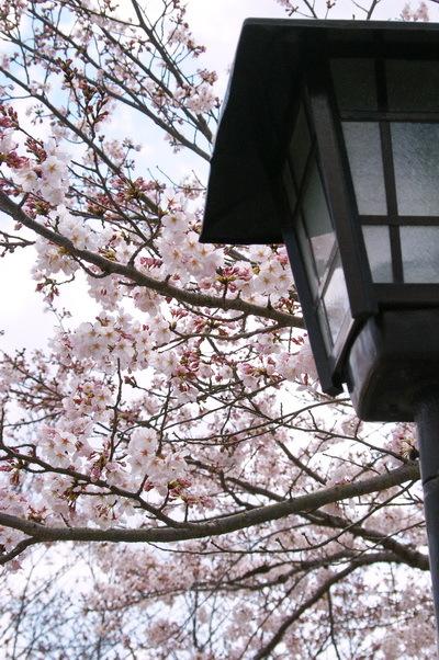 錦帯橋の桜_d0327373_17145536.jpg