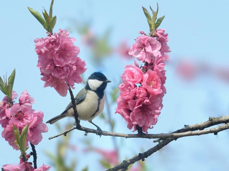桜/桃/梅の花とシジュウカラたち_a0204089_641718.jpg