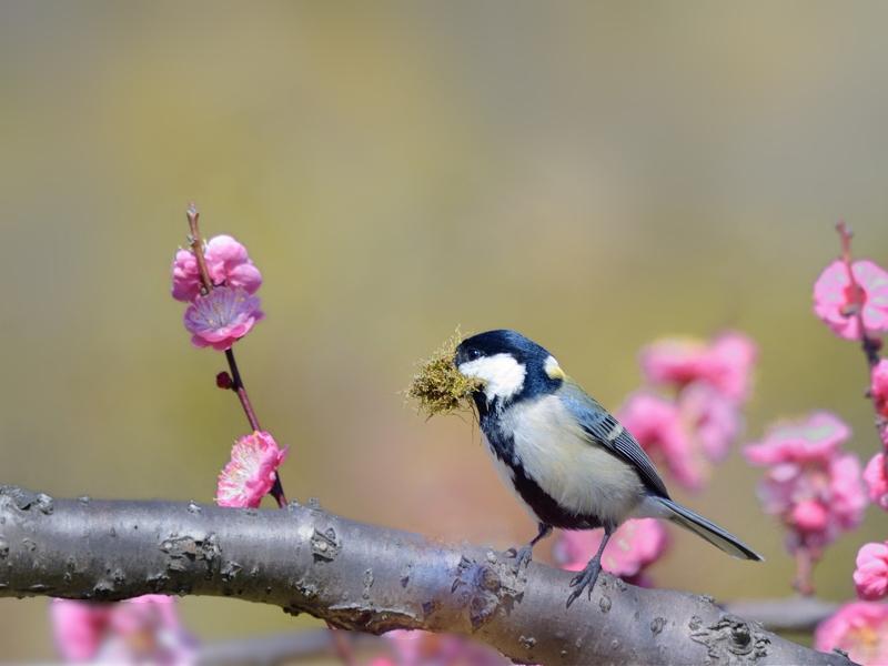 桜/桃/梅の花とシジュウカラたち_a0204089_643065.jpg