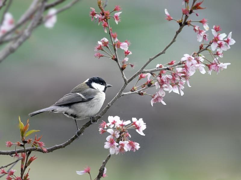 桜/桃/梅の花とシジュウカラたち_a0204089_64457.jpg