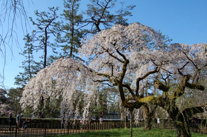 近衛邸跡の枝垂れ桜_c0057390_17391138.jpg