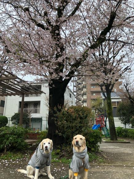 桜とパチリ♪_c0028792_22162397.jpg