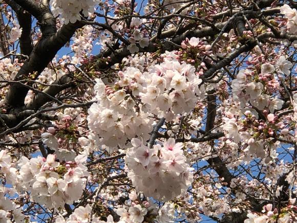 桜とパチリ♪_c0028792_22210900.jpg