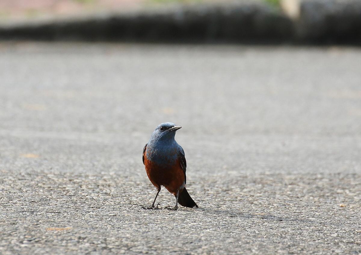 宮古島の野鳥ー2_c0113597_11391441.jpg