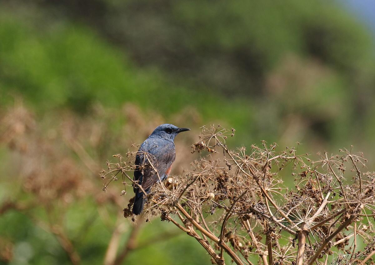 宮古島の野鳥ー2_c0113597_11395695.jpg