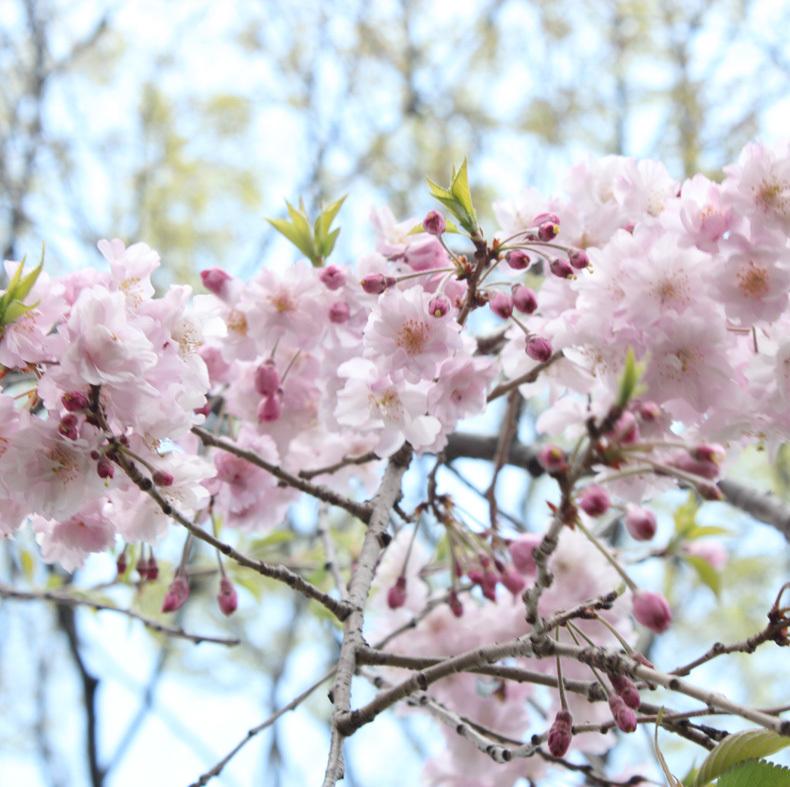 10年目の桜_d0154601_20073182.jpg