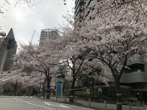アークヒルズ桜散歩_d0054704_22160495.jpg