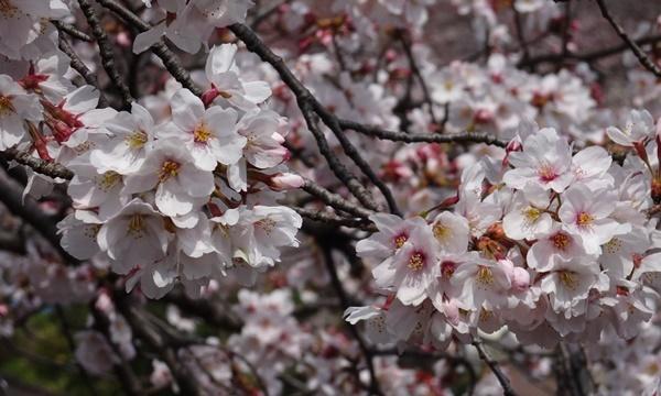 春うらら、国立・立川さくらウォーキングへ_c0051105_00105347.jpg