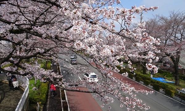 春うらら、国立・立川さくらウォーキングへ_c0051105_00114244.jpg