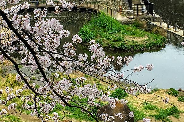 家の近くの桜は未だ満開では無く、明後日位が良い感じかも知れません!_b0194208_20115225.jpg