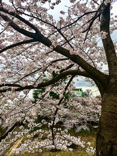 家の近くの桜は未だ満開では無く、明後日位が良い感じかも知れません!_b0194208_20115784.jpg