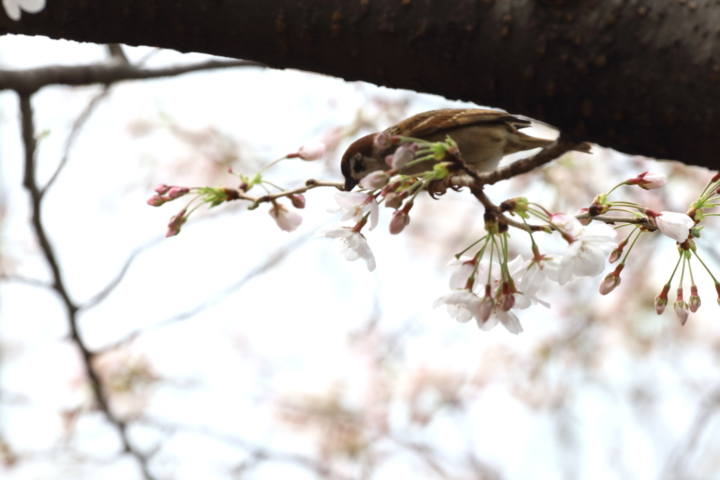 桜咲くの日の目黒川散歩_b0190710_23384400.jpg
