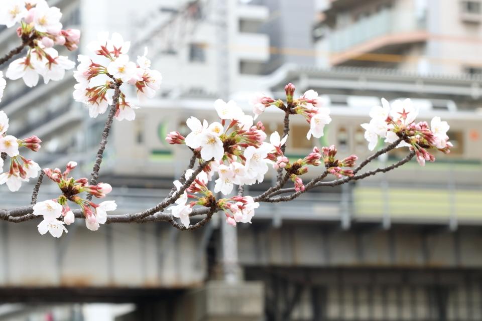桜咲くの日の目黒川散歩_b0190710_23384414.jpg