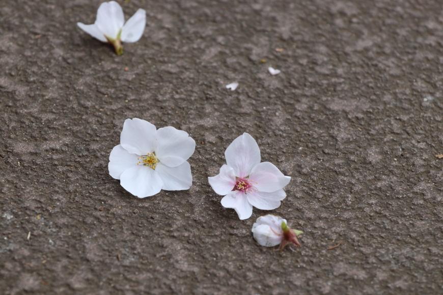 桜咲くの日の目黒川散歩_b0190710_23384429.jpg