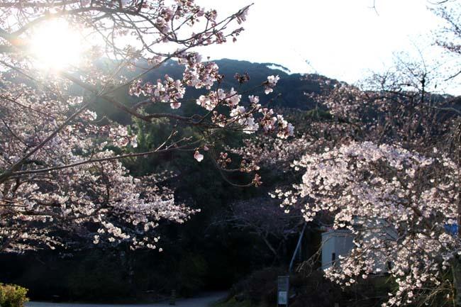 しだれ桜開花 円山公園_e0048413_17415475.jpg
