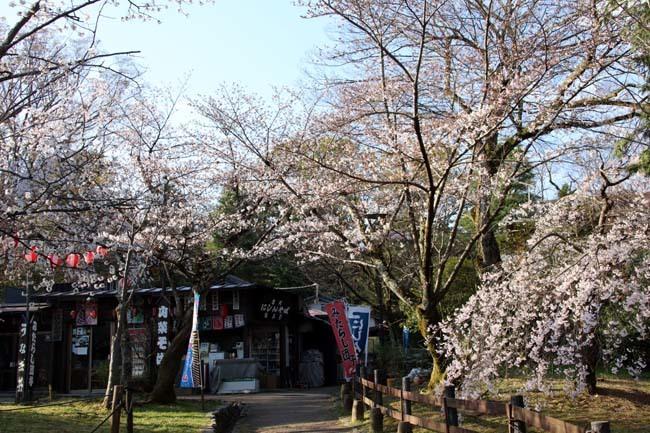 しだれ桜開花 円山公園_e0048413_17415898.jpg
