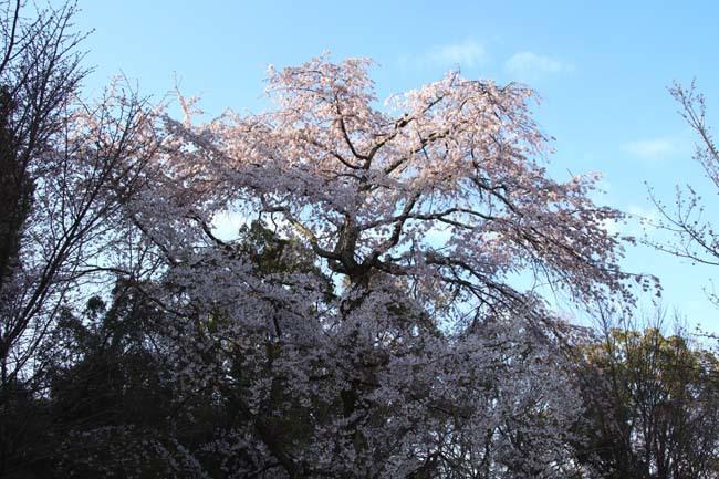 しだれ桜開花 円山公園_e0048413_17420437.jpg