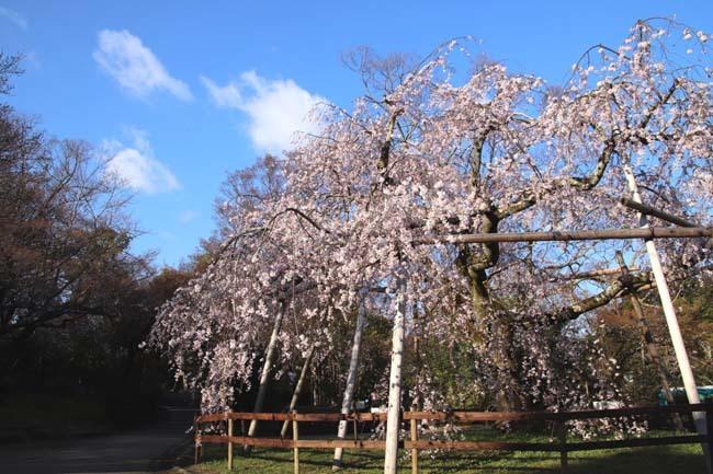 しだれ桜開花 円山公園_e0048413_17420973.jpg