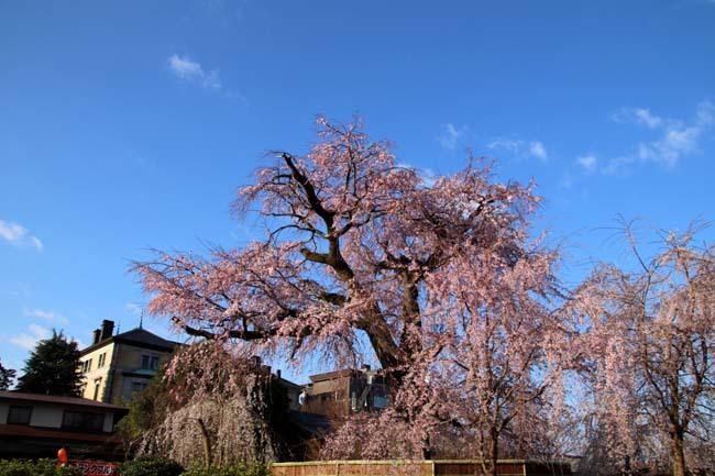 しだれ桜開花 円山公園_e0048413_17421788.jpg