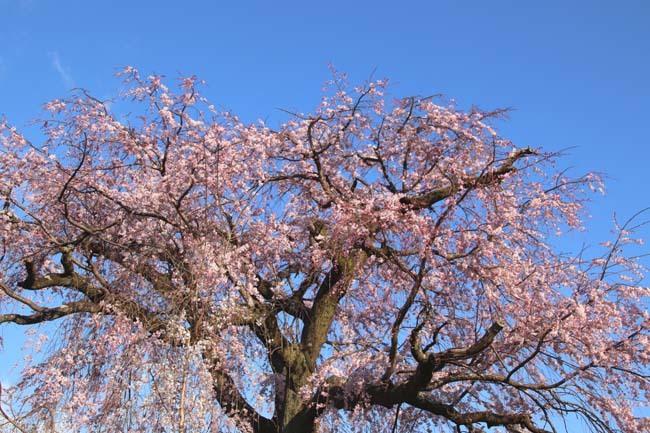 しだれ桜開花 円山公園_e0048413_17422260.jpg