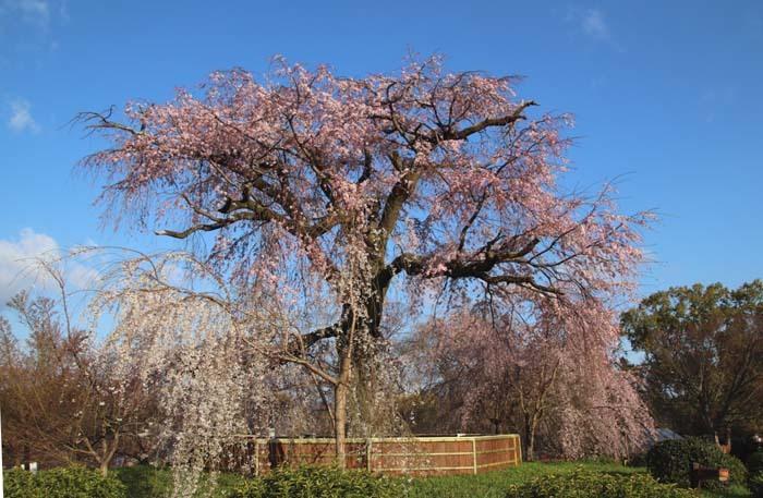 しだれ桜開花 円山公園_e0048413_17422599.jpg