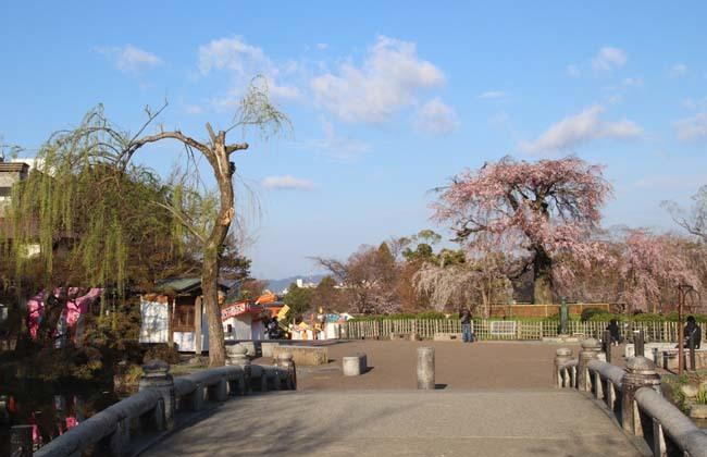 しだれ桜開花 円山公園_e0048413_17422804.jpg