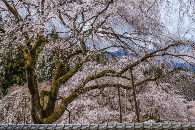 清雲寺の枝垂れ桜_b0010915_17272654.jpg