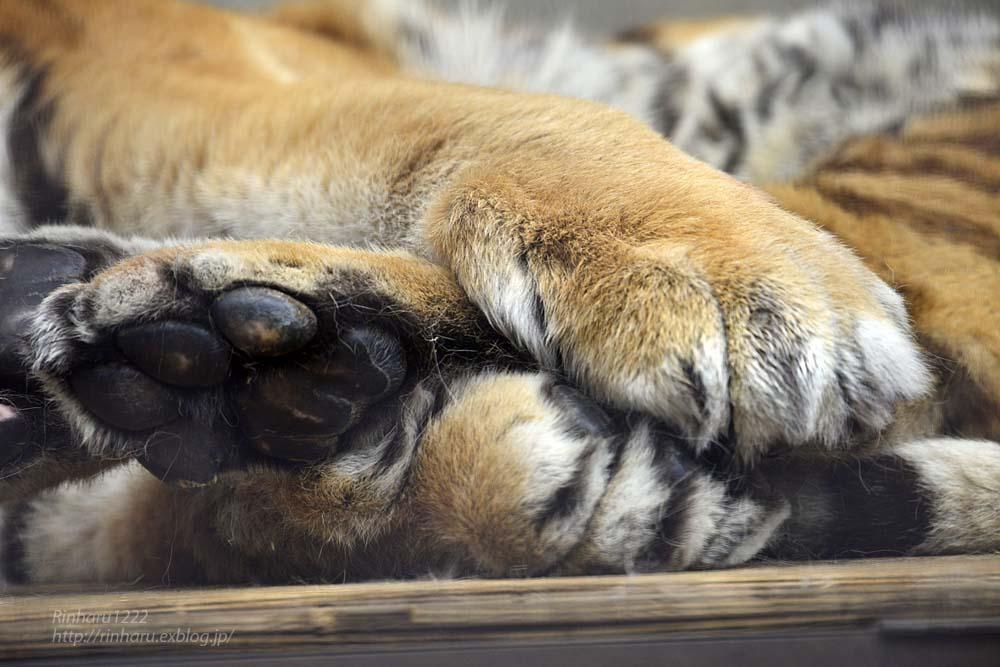 2019.3.31 宇都宮動物園☆アムールトラのルイさま~☆_f0250322_2272172.jpg