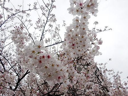 お花見弁当と新元号_f0097523_14570509.jpg