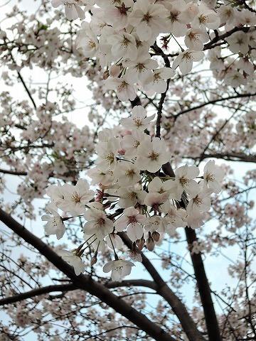 日曜さくら散歩_c0062832_15431379.jpg