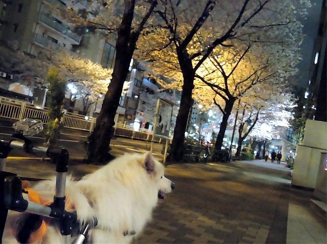 日曜さくら散歩_c0062832_15460344.jpg