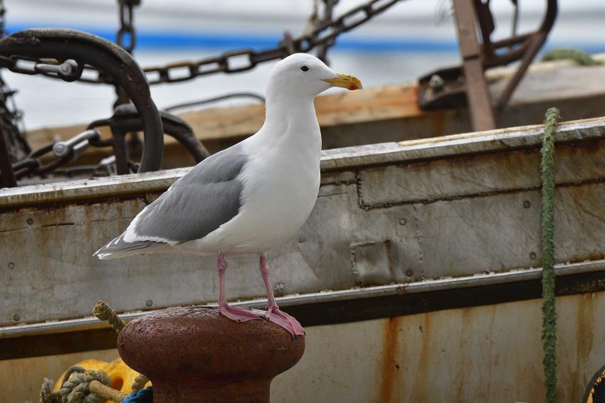 ワシカモメ(Glaucous-winged Gull)/2019.03_b0148352_00064157.jpg
