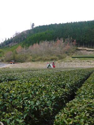 菊池水源茶 5月の1番茶の収穫へ向け、元気な新芽を芽吹かせるための仕上げ剪定の様子_a0254656_16555174.jpg