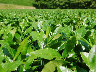 菊池水源茶 5月の1番茶の収穫へ向け、元気な新芽を芽吹かせるための仕上げ剪定の様子_a0254656_17145493.jpg