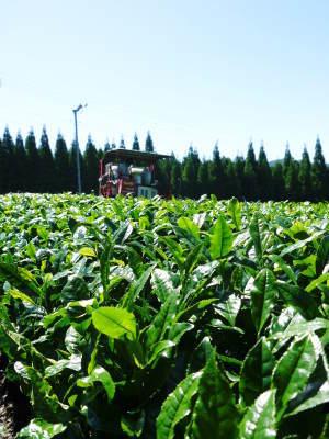 菊池水源茶 5月の1番茶の収穫へ向け、元気な新芽を芽吹かせるための仕上げ剪定の様子_a0254656_17334247.jpg