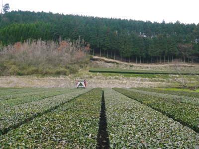 菊池水源茶 5月の1番茶の収穫へ向け、元気な新芽を芽吹かせるための仕上げ剪定の様子_a0254656_17573855.jpg