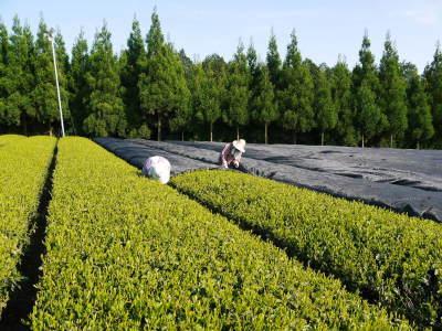 菊池水源茶 5月の1番茶の収穫へ向け、元気な新芽を芽吹かせるための仕上げ剪定の様子_a0254656_18163056.jpg