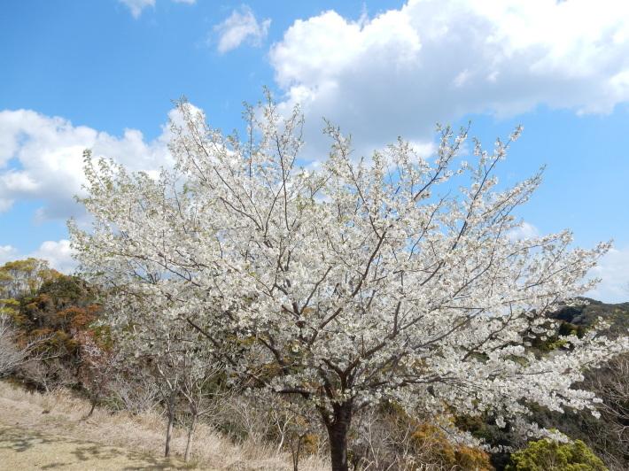 '19,4,1(月)今日も桜公園を独り占め!_f0060461_07251427.jpg