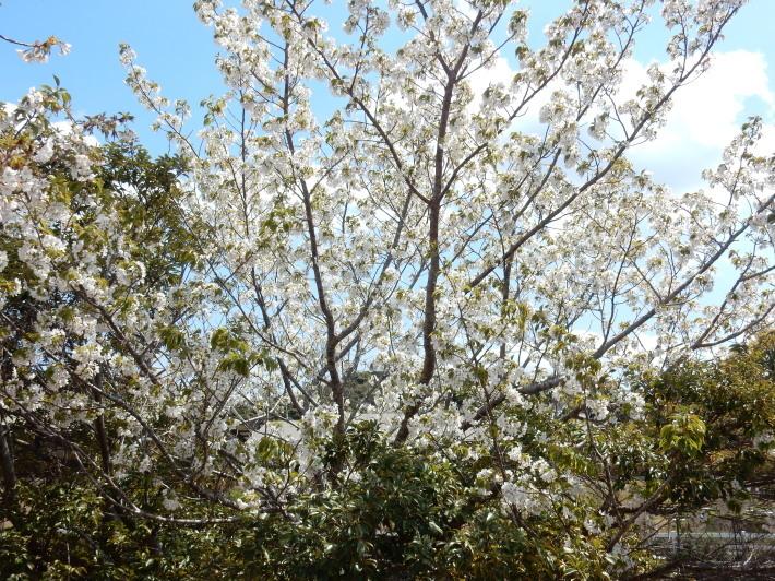 '19,4,1(月)今日も桜公園を独り占め!_f0060461_07292250.jpg