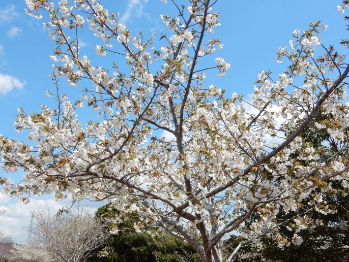 '19,4,1(月)今日も桜公園を独り占め!_f0060461_07294255.jpg