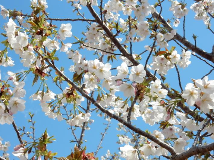 '19,4,1(月)今日も桜公園を独り占め!_f0060461_07305080.jpg